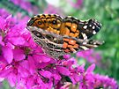American Painted Lady Butterfly by Aaron Campbell