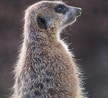 Meerkat by Alan Gandy
