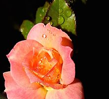 Raindrops on Rose Bloom  (1414107433VA) by photroen