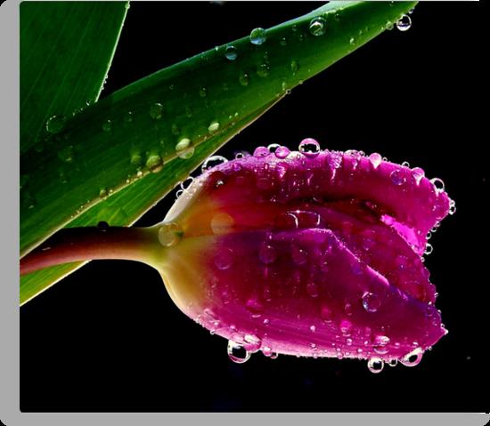 Fresh Tulips by funkyfacestudio