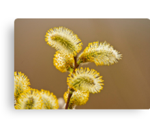 Spring Time Pussy Willow Canvas Print