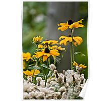 Brown Eyed Susan - Rudbekia Poster