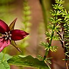 Purple Trillium by Michael Cummings
