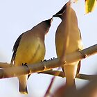 Cedar waxwings sharing by Lenny La Rue, IPA