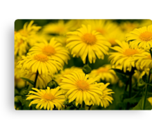 Camphorweed Canvas Print