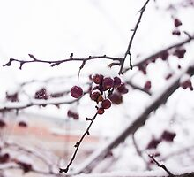 Photo of Snow Covered Wild Cherries by griffingphoto