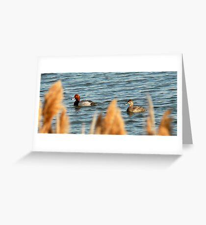 Redhead Drake & Hen Greeting Card