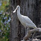 White Spoonbill by mncphotography