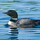 Common Loon - Mississippi Lake, Ontario by Michael Cummings