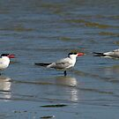 Caspian Terns by mncphotography