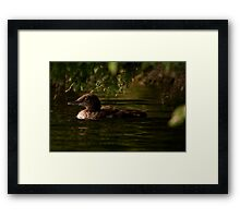 Common Loon Baby Framed Print