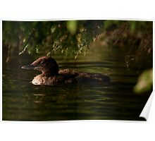 Common Loon Baby Poster