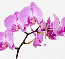 Orchid by lightmonger