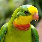 Superb Parrot by Douglas Stetner