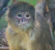 White Fronted Capuchin by Sue Martin