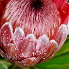 Pink Ice Protea by Mette  Spange
