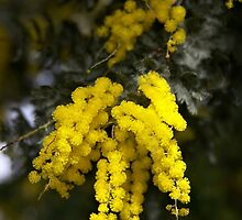 Cootamundra Wattle by Robert Elliott