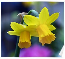 Two lone Daffodil's Poster