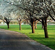 Bradford pears in bloom by AndrewBlake