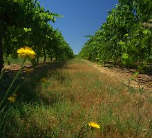 daisies between the vines by ndarby1