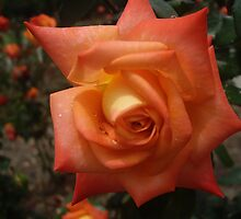 Orange Rose by Phyxius