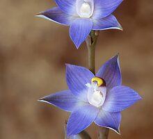 Slender Sun Orchid by ChrisRoss