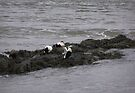Eider ducks by CiaoBella