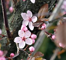 A touch of spring  by ASchachinger