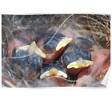 Newly-hatched chickadees Poster