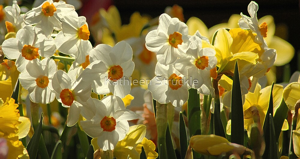 Jonquils by Kathleen Struckle