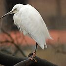 Egret by kmargetts