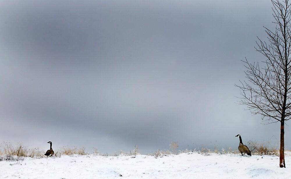 colorado geese by Melinda Kerr