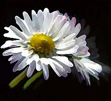 white daisy ... by SNAPPYDAVE