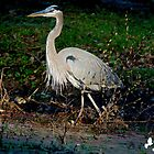 Great Blue Heron at Brookgreen Gardens by imagetj
