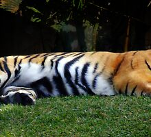 Sleeping Tiger by KellieBee