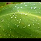 Freshly fallen rain droplets on leaves.... by Verangel