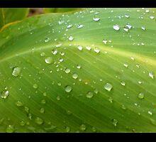 Freshly fallen rain droplets on leaves.... by Verangel