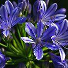 Blue Agapanthus by Janine  Hewlett