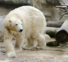 Polar Bear by Lisa G. Putman