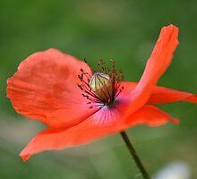 Poppy by AmarylisValdeon