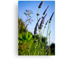 Lavender Fine Art Print Photography Canvas Print