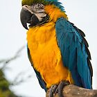 Blue-Gold Macaw Parrot by M.S. Photography/Art