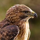 Red Tailed Buzzard by M.S. Photography/Art