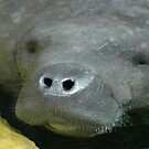 Manatee muzzle by Tony Hadfield