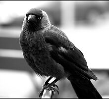 Jackdaw by TwoPromises