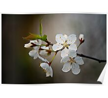 Cherry Blossums Poster