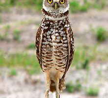 Baby Burrowing Owl     by Rosalie Scanlon