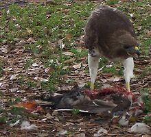 Lunchtime for a Red Tail Hawk by Brian Willocks