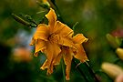 """Daylily """"Jersey Spider"""" by Michael Cummings"""