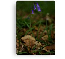 Single Bluebell in Prehen Woods, Derry Canvas Print